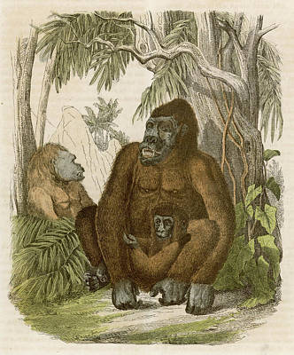 Gorilla Drawing - A Family Of Three Gorillas In The Jungle by Mary Evans Picture Library