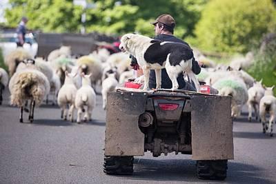 A Farmer Droving Sheep From A Quad Bike Art Print by Ashley Cooper
