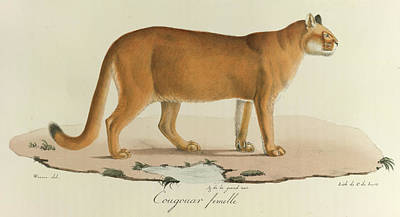 Puma Photograph - A Female Cougar by British Library