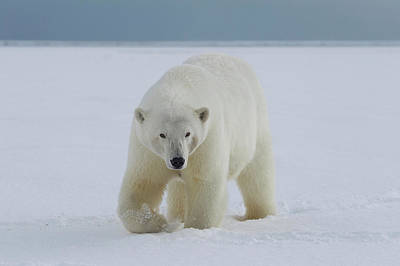 A Female Polar Bear Walks Art Print by Hugh Rose