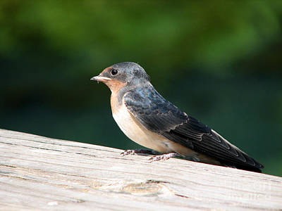 A Female Purple Martin Is Watching You Art Print