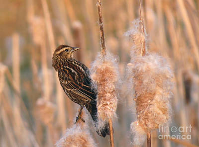 Photograph - A Female Red Winged Blackbird At Dusk by Chris Anderson