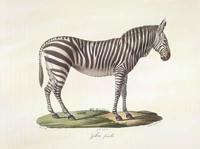 A Female Zebra. Art Print by British Library