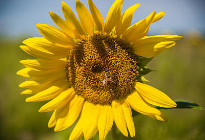 Sunflowers Royalty-Free and Rights-Managed Images - A Few Missing by Kristopher Schoenleber