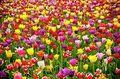 Botanical Photograph - A Field Of Colorful Tulips In Spring by Steve Bly