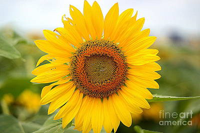 Photograph - A Field Of Sunflower by Diana Mary Sharpton