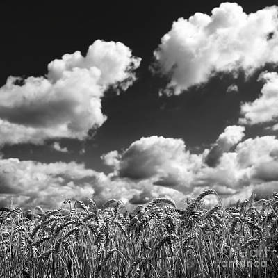 Cornfields Photograph - A Field Of Wheat . Limagne. Auvergne. France by Bernard Jaubert