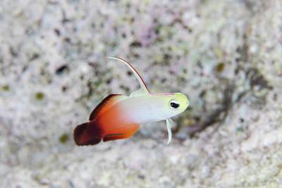 A Fire Dartfish Swims Above A Reef Art Print