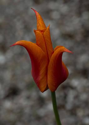 A Flamboyant Flame Tulip In A Pebble Garden Art Print by Georgia Mizuleva