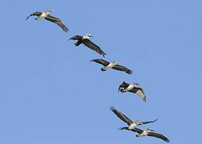 Photograph - A Flock Of Pelicans Flying Overhead. by Bradford Martin
