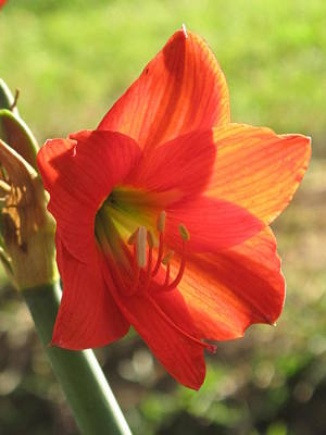 Photograph - A Flower Blooms In The Warm Heart Of Africa by Frank Chipasula