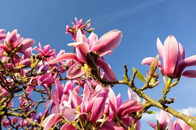Flowering Blossoms Photograph - A Flowering Magnolia Tree by Ashley Cooper