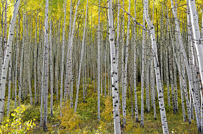 Photograph - A Forest Of Almost Golden Aspens by Willie Harper