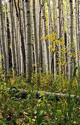 A Forest Of Aspen Art Print