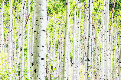 Photograph - A Forest Of Aspen Trees In The Fall by Jordan Siemens