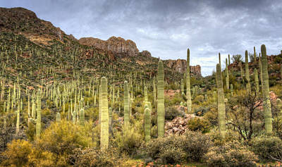 Photograph - A Forest Of Saguaros  by Saija  Lehtonen