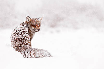 Winter Storm Photograph - A Red Fox Fantasy by Roeselien Raimond