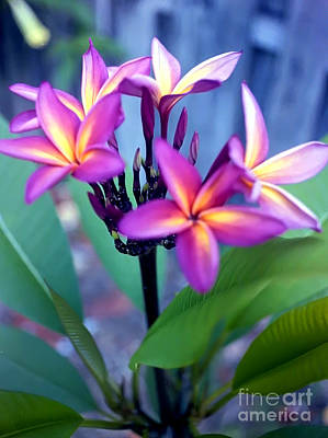 Photograph - A  Frangipani Tree In Bloom by Steven Valkenberg