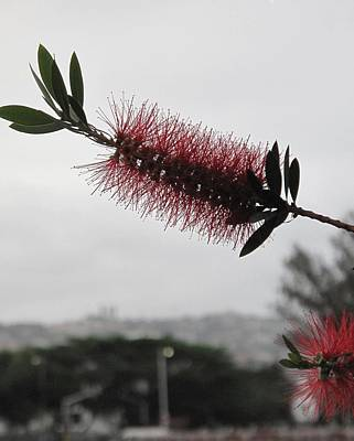 Photograph - A Free Bottle Brush by Frank Chipasula