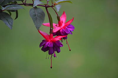Photograph - A Fuchsia by Alex King