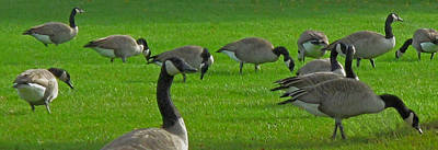 Photograph - A Gaggle Of Geese by Ian  MacDonald