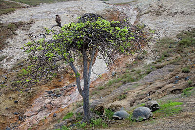 Galapagos Photograph - A Galapagos Hawk Perches In A Tree by Eric Rorer