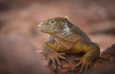 Land Iguana Photograph - A Galapagos Land Iguana, Conolophus by Jeff Mauritzen