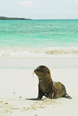 Galapagos Photograph - A Galapagos Sea Lion Pup Zalophus by Brian Guzzetti / Design Pics