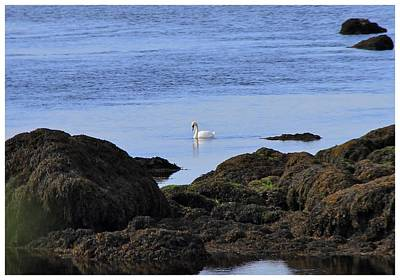 Photograph - A Galway Castle Swan by Frank Wickham