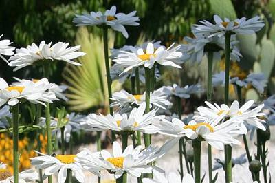 Photograph - A Garden Of White Daisy Flowers by Tracey Harrington-Simpson