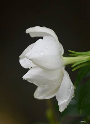 Photograph - A Gardenia Profile by Maria Urso