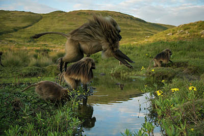 Photograph - A Gelada Leaps Over A Small Runoff by Trevor Frost