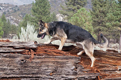 Alsatian Photograph - A German Shepherd Walking Up Onto by Zandria Muench Beraldo
