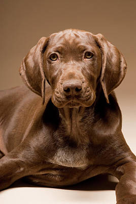 German Shorthair Pointer Photograph - A German Shorthaired Pointer Sitting by Tom Bol