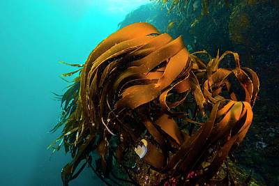 Photograph - A Giant Kelp Outcropping Grows On Marys by Jennifor Idol
