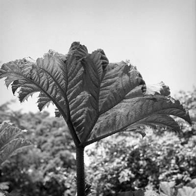 Photograph - Giant Rhubarb by Christopher Rees
