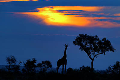 A Giraffe At Sunset Art Print