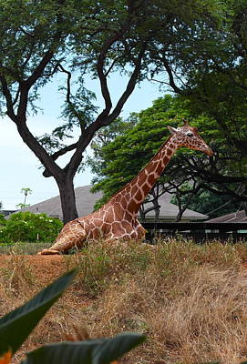 Photograph - A Giraffe Rests In Honolulu by Michele Myers