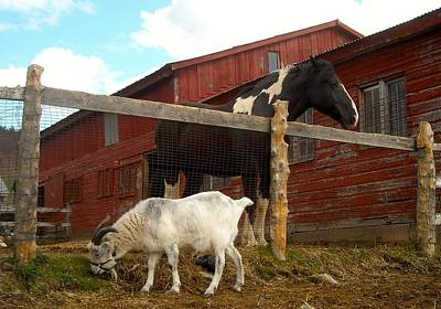 Photograph - A Goat Is A Horse's Best Friend by Ishana Ingerman