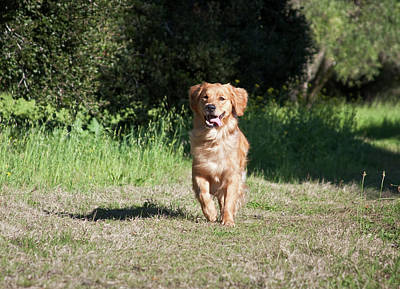 A Golden Retriever Running Art Print
