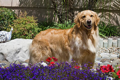 Golden Retrievers Photograph - A Golden Retriever Standing In A Garden by Zandria Muench Beraldo