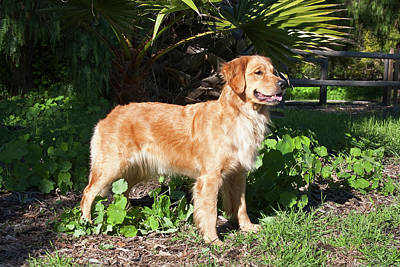 Golden Retrievers Photograph - A Golden Retriever Standing In A Park by Zandria Muench Beraldo