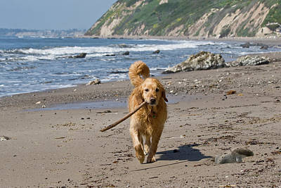 A Golden Retriever Walking With A Stick Art Print by Zandria Muench Beraldo