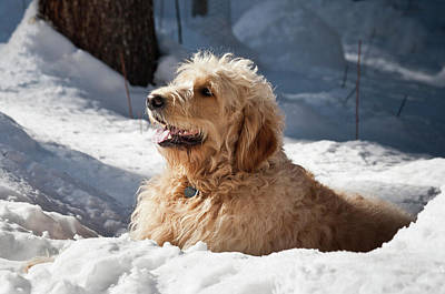 A Goldendoodle Lying In The Snow Art Print by Zandria Muench Beraldo