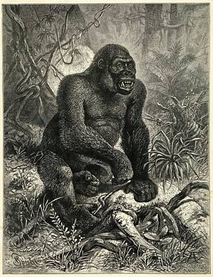 Gorilla Drawing - A Gorilla (troglodytes  Gorilla) by Mary Evans Picture Library