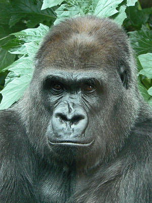 Photograph - A Gorilla Watches by Margaret Saheed
