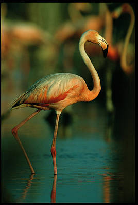 A Graceful Caribbean Flamingo Walks Art Print