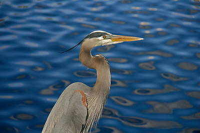 Photograph - A Great Blue Heron by Denise Mazzocco