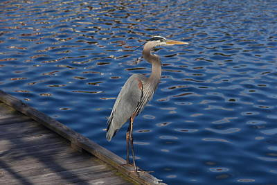 Photograph - A Great Blue Heron On A Dock by Denise Mazzocco