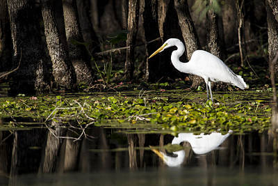 A Great Egret In Tranquility  Art Print